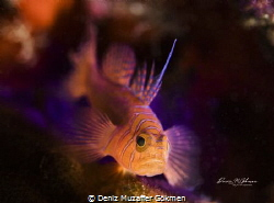 goby on torch light by Deniz Muzaffer Gökmen